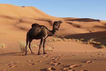 Merzouga_-_dromadaire_-_désert_-_Maroc_