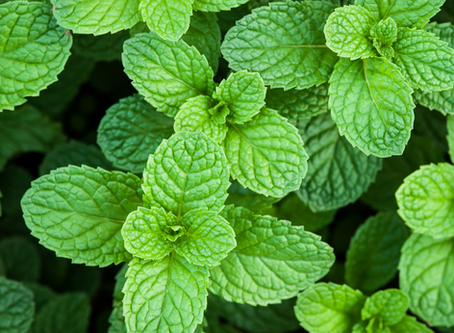 Pain Relieving Properties of Peppermint Essential Oil