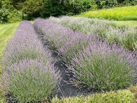 Pick your own lavendar event