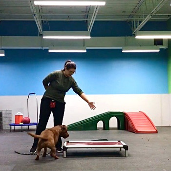 Our dog trainer works on training commands with one of our daycare dogs