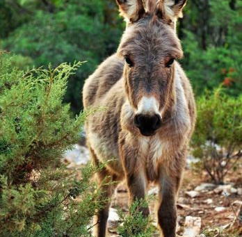 Donkey Ear, Coyote Slick