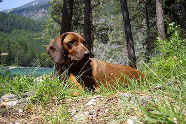 hunting-dog-1303500_1920.jpg