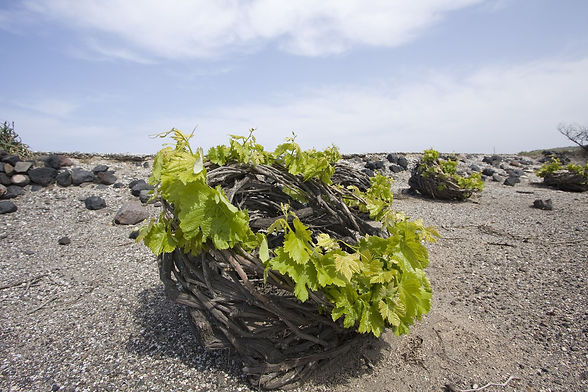 santorini-vineyard.jpg