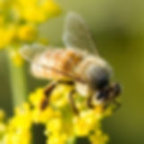 bee_on_flower_200x200.jpg