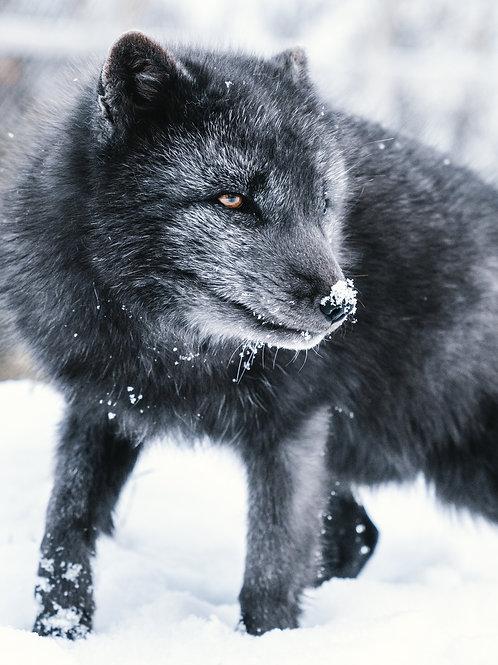 Icelandic Fox