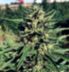 stormy-hemp-strain, stormy-daniels-hemp, stormy daniels hemp seeds, high cbd hemp