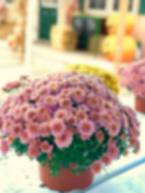 Pink Mums | Marion Mulch & More  | © Reverie Design