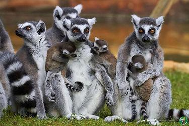 lemuriens-palmyre.jpg
