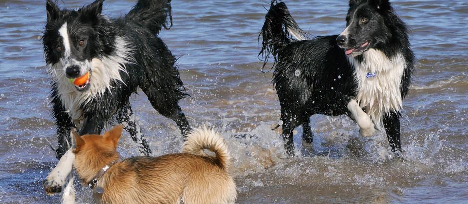 Miért jó, ha ivartalaníttatjuk kan kutyánkat?