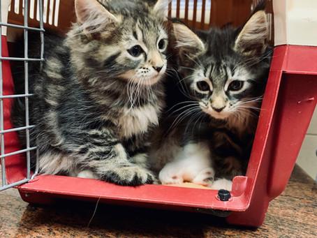 Macskák leukózisa– Máig rettegett betegség, pedig van ellene vakcina