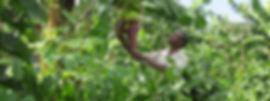 Ghana plantain farmer.jpg