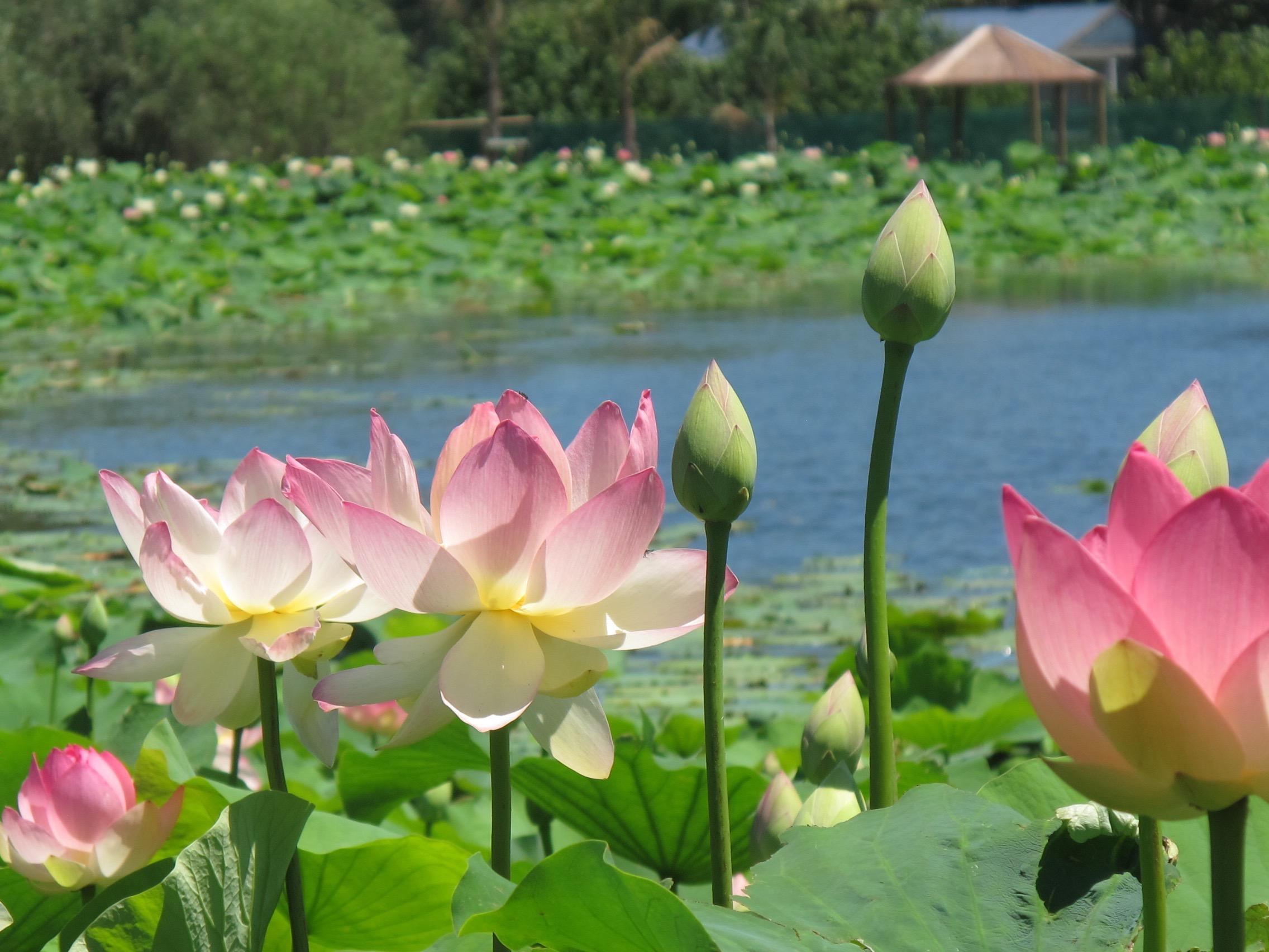 Petals of peace project australia petals of peace instructions izmirmasajfo