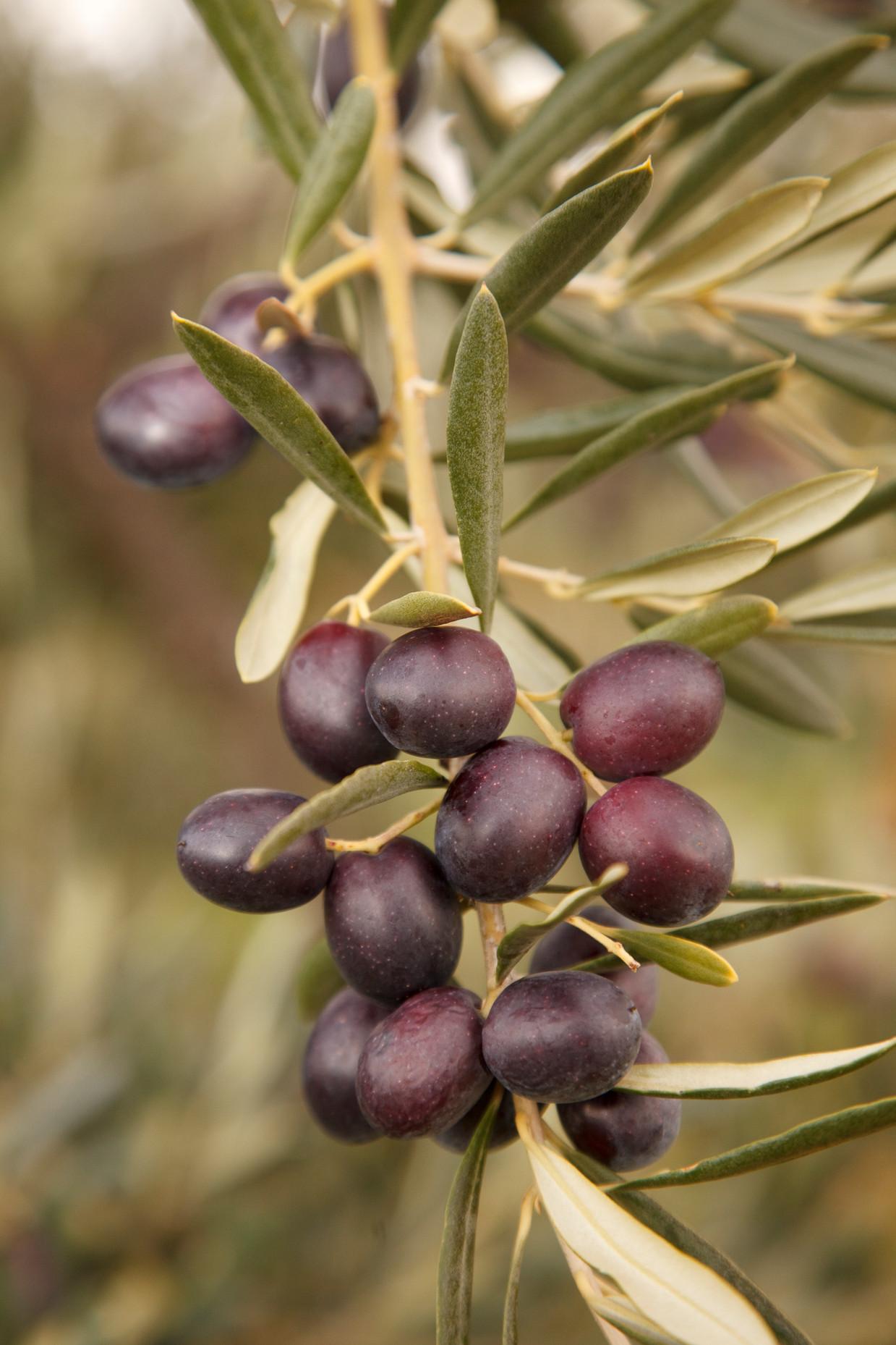 Detalle olivas