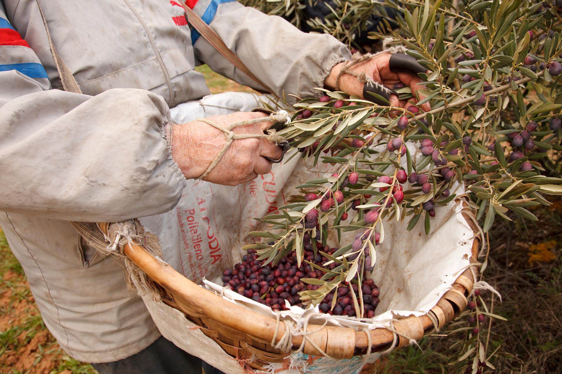 La recogida de la oliva.