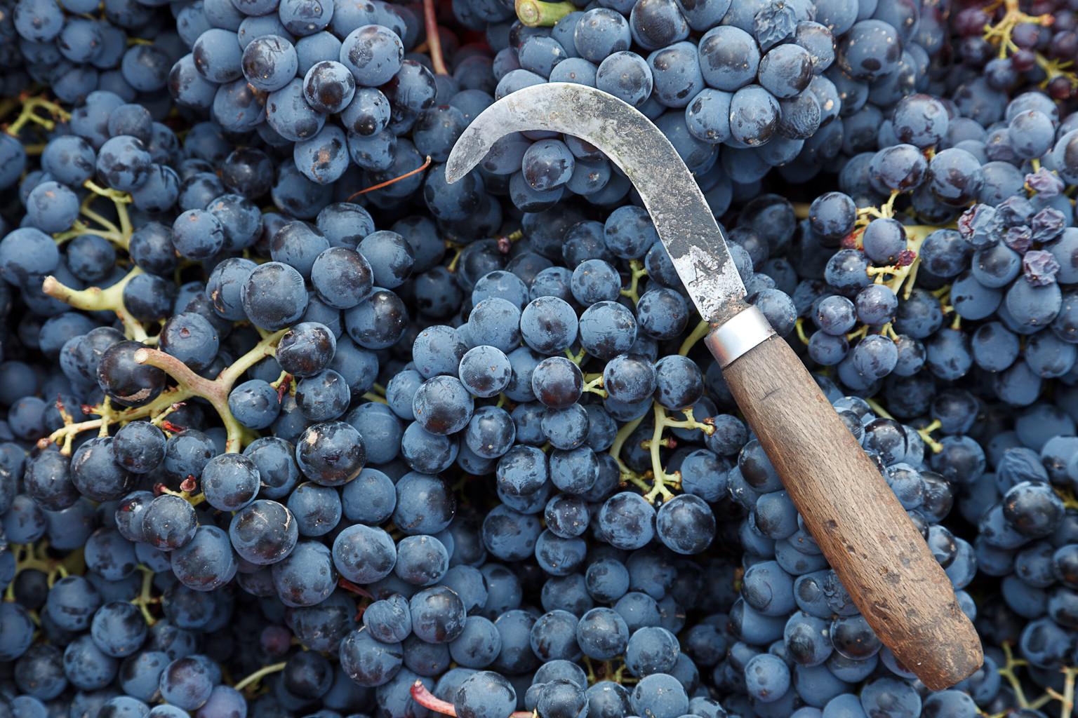 Racimos de uva en su vendimia