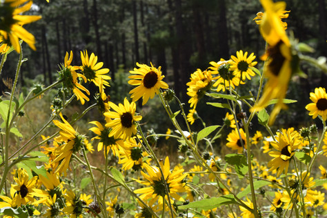 Sunflowers Speak