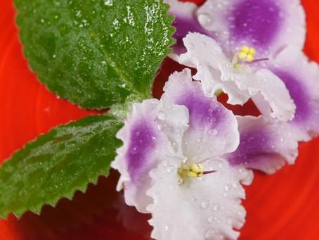 Как приготовить засахаренные цветы?