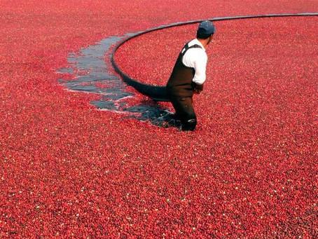Клюквенный океан или как собирают ягоды