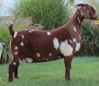 Lucky Dog Daughter Show Goat