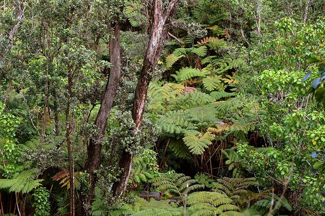 Forest_Near_the_Lava_Tube_(24179553110).jpg