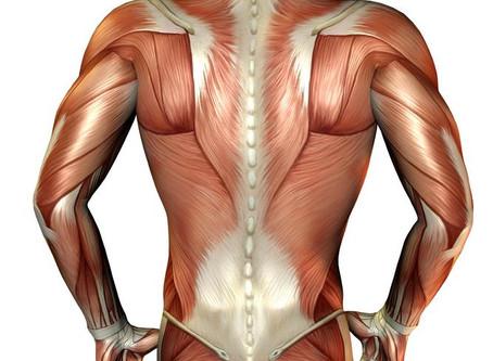 Unsere Muskulatur – ein Wunderwerk der Natur