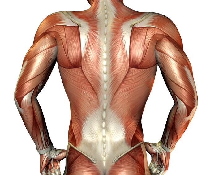 Unsere Muskulatur
