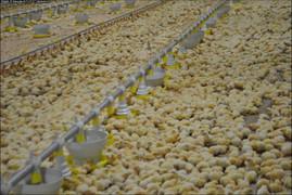 Avicultura segue em ascensão em Palmitinho