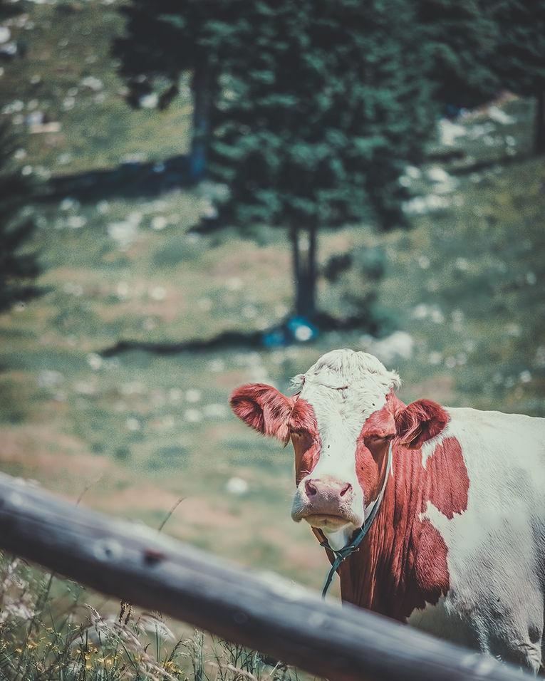 ritratto di mucca