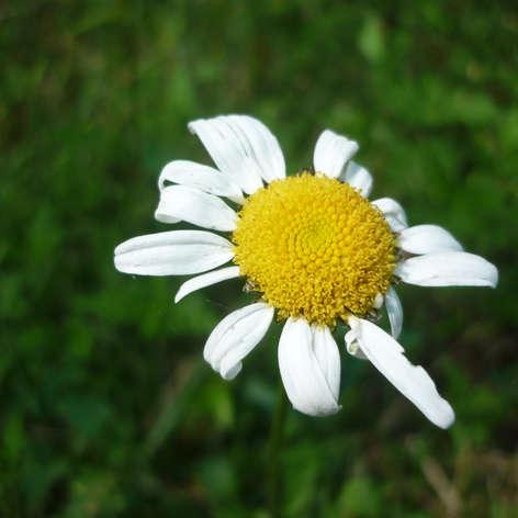 Daisy loo
