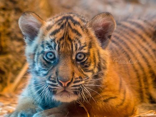 Tiger Cub 11X14 White Mat