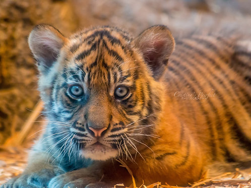 Tiger Cub 8X10 Mat