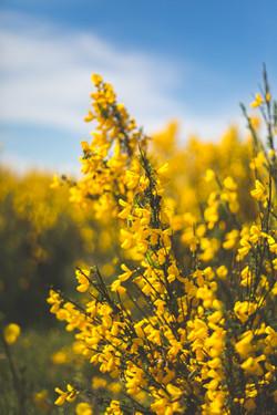 Yellow Flowers-2.jpg