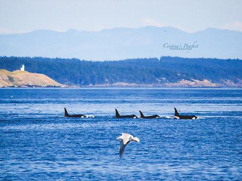 Four Orcas and a Bird 11X14 White Mat