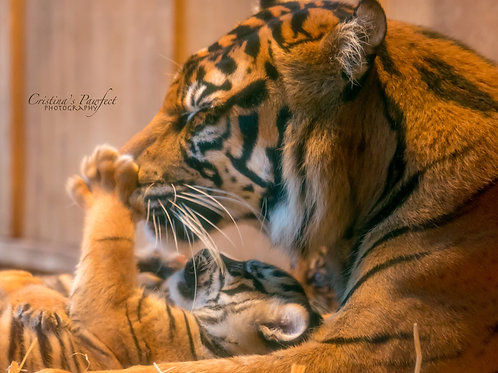 Tiger Mom Playing With Baby 11X14 White Mat