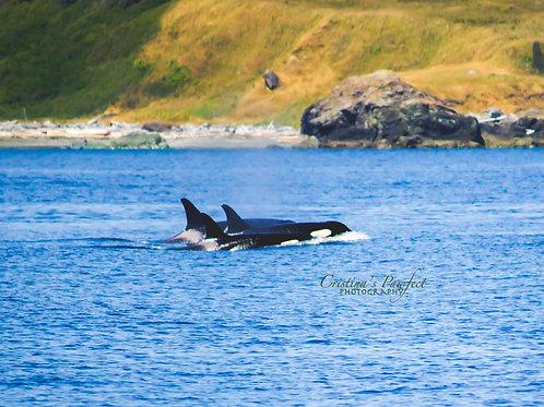 Orca Trio 11X14 White Mat