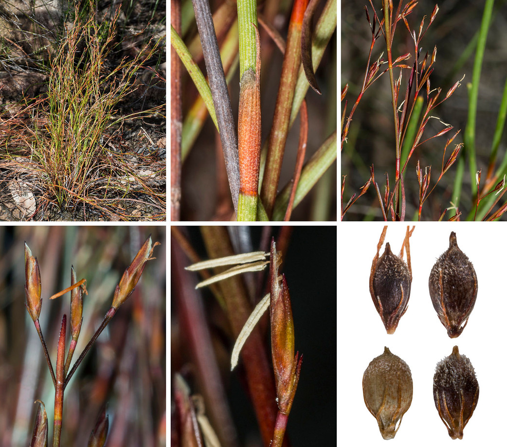 From the Seychelles to Hawaii, and the Caribbean, Australian sedges are expert travellers