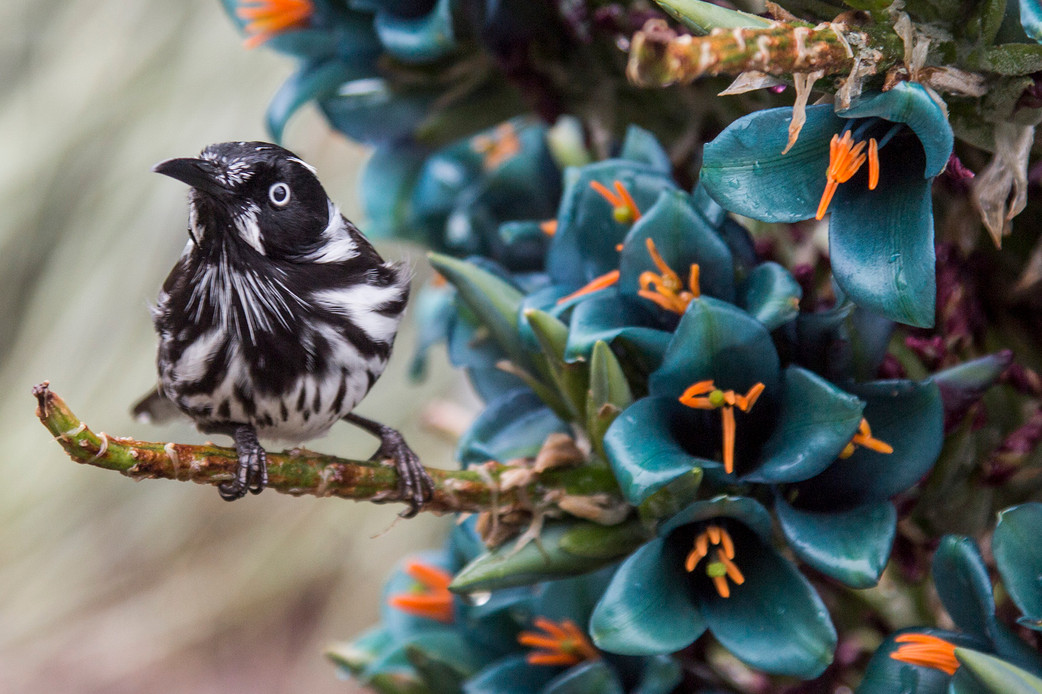 Love at first sight – Honeyeater meets Bromeliad