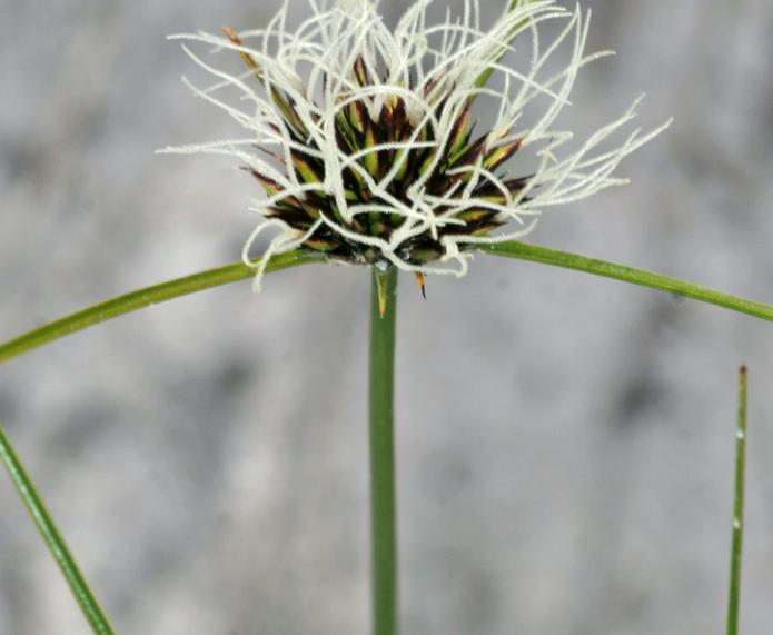 Chaetospora_curvifolia_Barrett_KP.tif