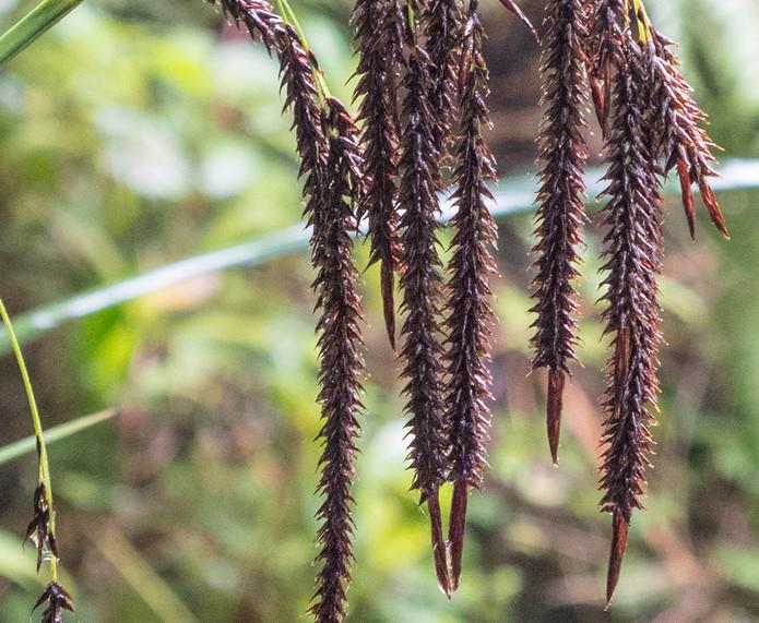 Carex_spPopcarpusNPEcuador_Barrett_4967.jpg