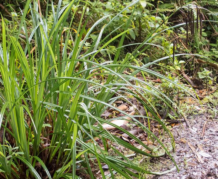 Carex_spPopcarpusNPEcuador_Barrett_4965.jpg