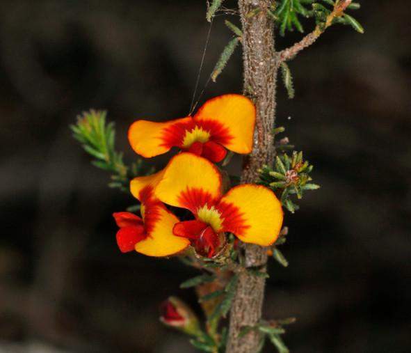 Dillwynia_phylicoides_4603.jpg