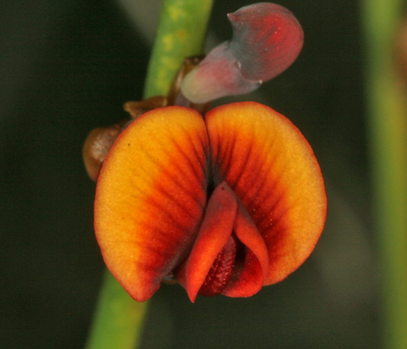 A1_Daviesia_nudiflora_9530.jpg