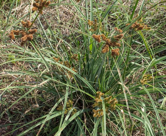 Cyperus_spGalapagos_Barrett_7247.jpg