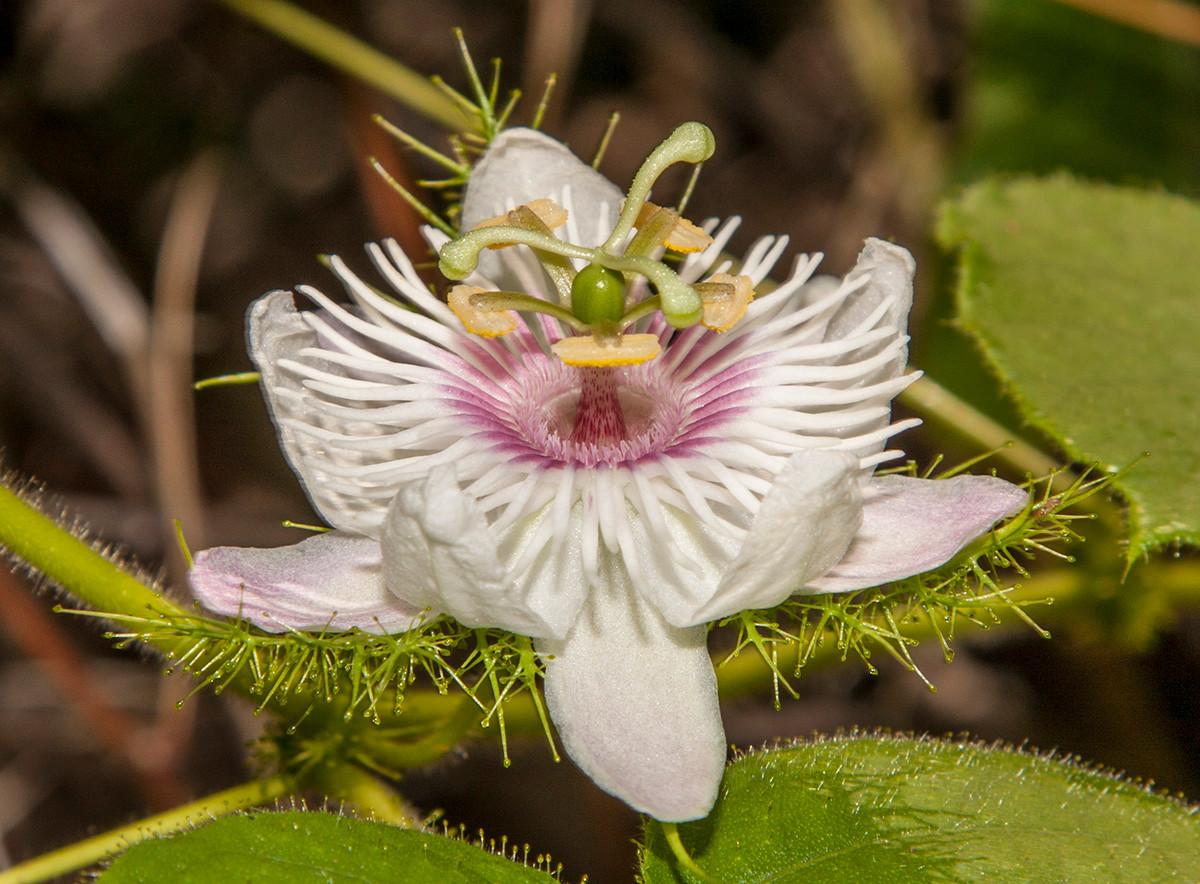 Passiflora_foetida_3863.jpg
