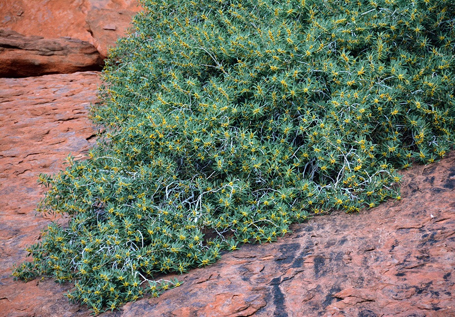 New species can be right in front of us – a new fig species from Uluru