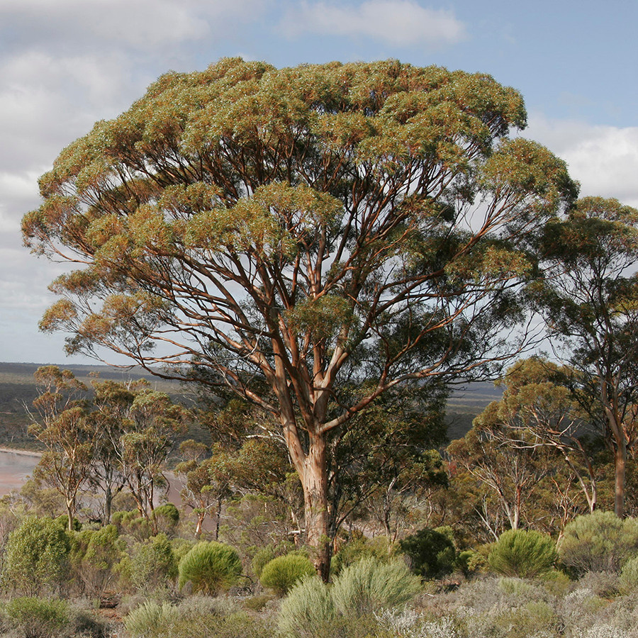 A new species of Eucalyptus revealed for National Eucalypt Day