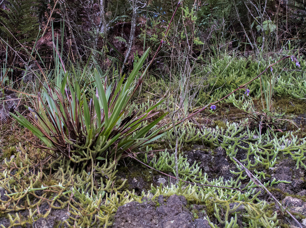 Dianella – Australia in the Andes?
