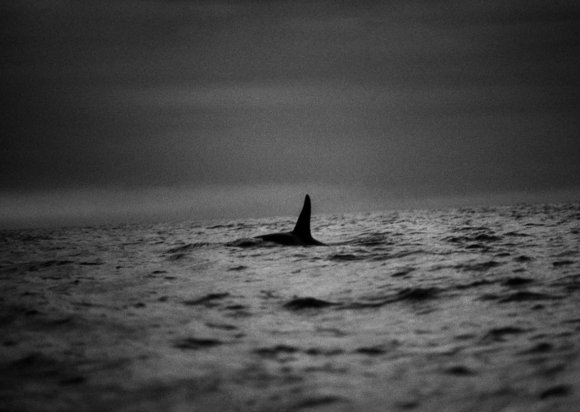 A Killer Whale 2003.jpg