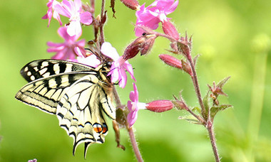 I_p_machaon-01.jpg