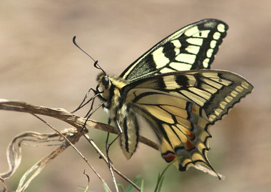 I_p_machaon-03.jpg